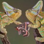pareja-de-camaleones